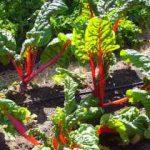 Growing Swiss Chard (Spinach Beet) - How to Grow Swiss Chard