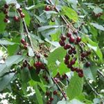 Growing Cherries - How to Grow Cherries