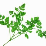 Growing Chervil - How to Grow Chervil