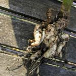 Avoid Spreading Clubroot - Planting Early in Spring
