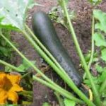 Growing Courgettes (Zucchini) - How to Grow Courgettes