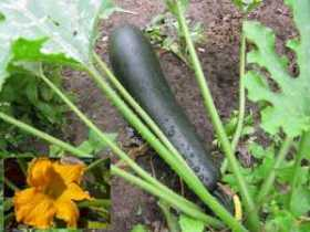 How to Grow Courgette