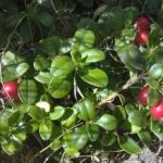 Growing Cranberries - How to Grow Cranberries
