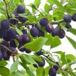 Growing Damsons - How to Grow Damsons