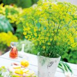 Growing Dill - How to Grow Dill