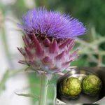 Growing Globe Artichokes - How to Grow Globe Artichokes