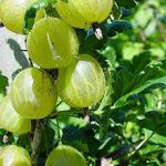 Growing Gooseberries - How to Grow Gooseberries