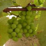 Growing Grapes - How to Grow Grapes