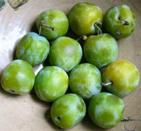 How to Grow Greengage