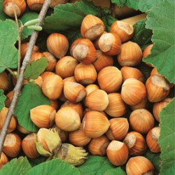 How to Grow Hazelnuts
