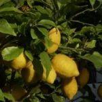 Growing Lemons - How to Grow Lemons