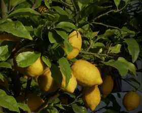 How to Grow Lemons
