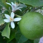 Growing Limes - How to Grow Limes