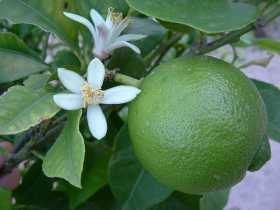 How to Grow Limes