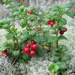 Growing Lingonberries - How to Grow Lingonberries