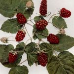 Growing Loganberries - How to Grow Loganberries