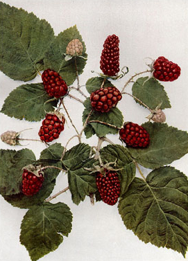 How to Grow Loganberries