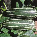 Growing Marrows - How to Grow Marrows
