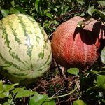Growing Melons - How to Grow Melons