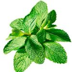 Growing Mint - How to Grow Mint