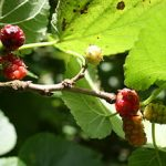 Growing Mulberries - How to Grow Mulberries