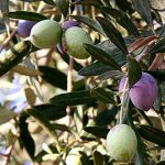 Growing Olives - How to Grow Olives