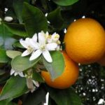 Growing Oranges - How to Grow Oranges