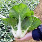 Growing Pak Choi Chinese Cabbage - How to Grow Pak Choi