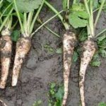 Growing Parsnips - How to Grow Parsnips