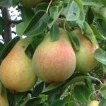 Growing Pears - How to Grow Pears
