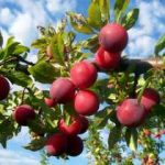 Growing Plums - How to Grow Plums