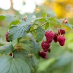Growing Raspberries - How to Grow Raspberries