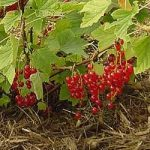 Growing Redcurrants - How to Grow Redcurrents