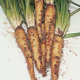How to Grow Salsify