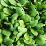 Growing Spinach - How to Grow Spinach