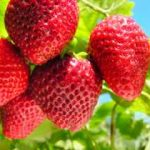 Growing Strawberries - How to Grow Strawberries