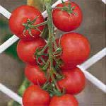Growing Tomatoes - How to Grow Tomatoes