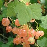 Growing Whitecurrants - How to Grow Whitecurrants