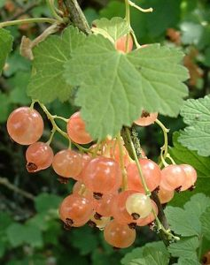 How to Grow Whitecurrants