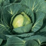Types of Cabbage - Growing Cabbages All Year Round