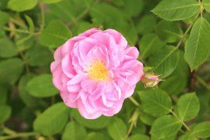 Damask Rose Medicinal Herb Garden