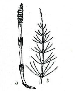 Horsetail Mares Tail (Equisetum arvense)