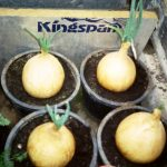 Growing Onions for Show - Selecting & Propagating Onions