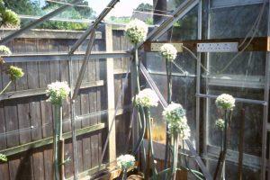 Onion Flower Seed