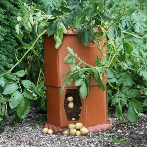 Patio Growing Potatoes Barrel