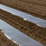 Growing Potatoes Under Black Plastic (Polythene) Sheet