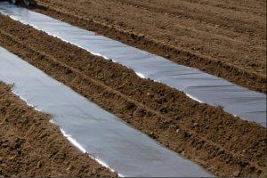 Potatoes Growing Under Black Plastic