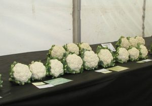 Prize Winning Cauliflowers