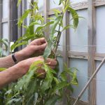 Pruning & Training Peaches & Nectarines by Carol Klein