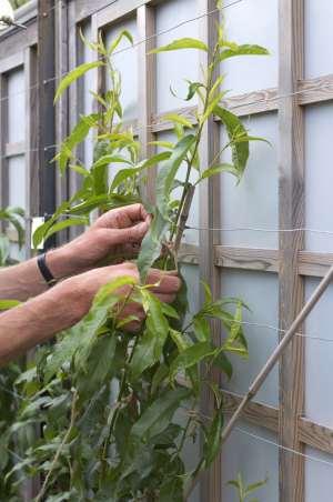 Pruning Young Peach Fan